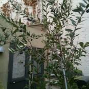Uno de mis mini olivos