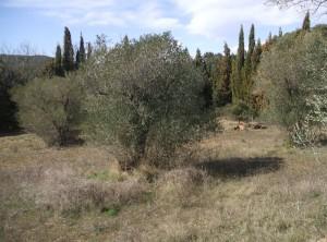 Los olivos de Foixà