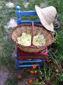 Las flores de saúco recién cogidas
