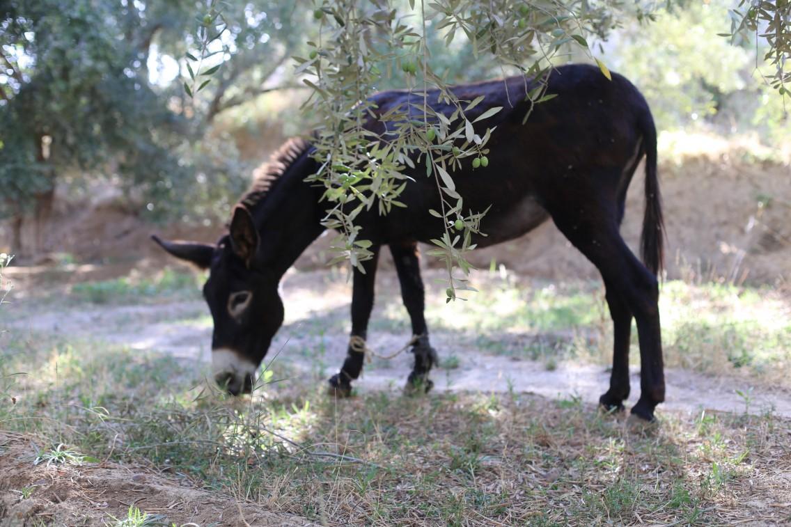 Los burros forman parte del paisaje de La Pause