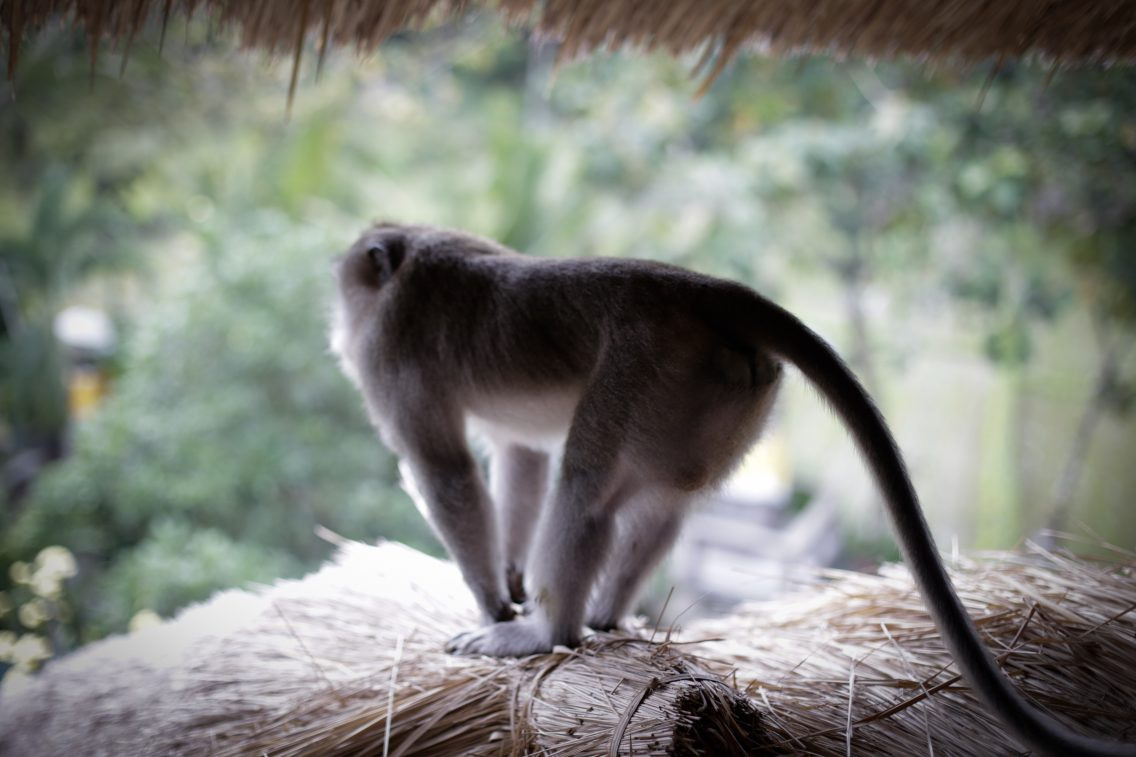 The macaque in our mirador room